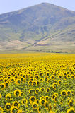 Yellow sunflowers and mountains Royalty Free Stock Photography