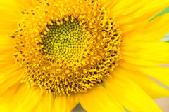 Yellow sunflowers in the near term. Stock Image