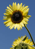 Yellow sunflowers over blue Stock Photography