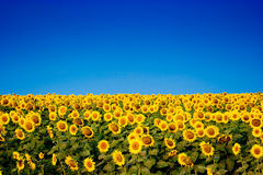 Yellow sunflowers over blue sky Stock Image