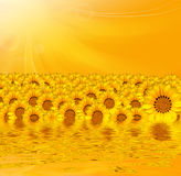 Yellow sunflowers over yellow background Stock Images