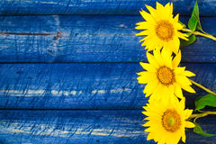 Yellow sunflowers painted fence Stock Photo