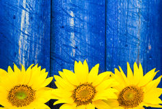 Yellow sunflowers painted fence Royalty Free Stock Photos