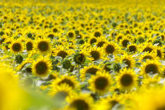 Yellow Sunflowers Plants Royalty Free Stock Images