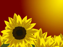 Yellow sunflowers at red sunset Royalty Free Stock Photo