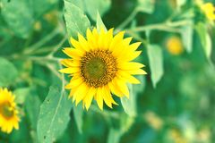 Yellow sunflowers with rounded shapes royalty free stock images