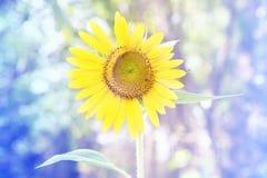 Yellow sunflowers and softlight. Yellow sunflowers and sun softlight Stock Images