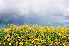 Yellow Sunflowers and Storm Clouds Stock Images