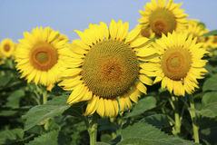 Yellow sunflowers in the summer Royalty Free Stock Images
