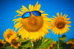 Yellow sunflowers in sun glasses on a blue sky Stock Image