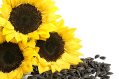 Yellow sunflowers and sunflower seeds Royalty Free Stock Photo