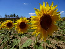 Yellow sunflowers. In Tuscany in summer Royalty Free Stock Images