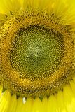 Yellow sunflowers Royalty Free Stock Photos