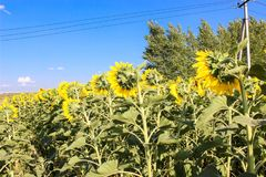 Sunflowers in the field in the bright sun. Yellow sunflowers under the soaring sun in the field royalty free stock photos