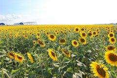 Sunflowers in the field in the bright sun. Yellow sunflowers under the soaring sun in the field royalty free stock photo