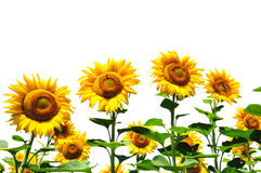 Yellow sunflowers on white Stock Photos