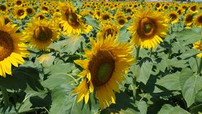 Yellow sunflowers. Wonderful rural landscape of sunflower field in sunny day. Summer time stock video footage