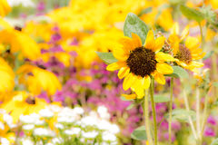 Yellow sunnflower in a flower bed Stock Image