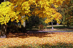 Yellow sunny autumn leaves Royalty Free Stock Photography
