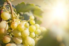 Yellow Sunny Grape. Delicious yellow autumn grape fruit macro detail Royalty Free Stock Photo
