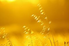Yellow Sunset in the Wheat Field royalty free stock photography