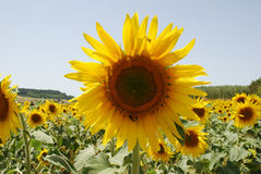 Yellow sunsflower. Sunflower in the field south of France. Bees humming Stock Photography