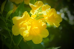 Yellow sunshine beauty. Yellow coloured blooms.. Sun kissed petals Stock Photography
