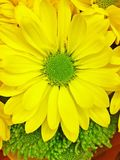 Yellow Sunshine. Macro image of a flower with yellow petals and green center Royalty Free Stock Photos