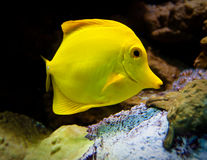 Yellow surgeon. Fish near a reef Stock Image