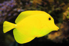 Yellow surgeon fish Stock Image