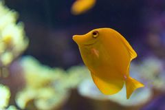 Yellow surgeon fish zebrasoma flavescens. Close up Royalty Free Stock Photos