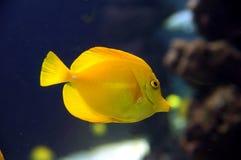 Yellow surgeonfish. Zebrasoma flavescens, yellow surgeonfish. Bright yellow  coral reef fish in salt water Royalty Free Stock Photos