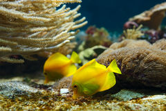 Yellow surgeons (Zebrasoma flavescens) in the water. Two yellow surgeons (Zebrasoma flavescens) in the aquarium.(Yellow tang royalty free stock photography