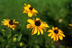 Yellow susan daisy. Yellow susan daisies with green background Royalty Free Stock Photo