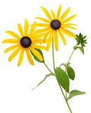 Yellow susan flowers (rudbeckia) Stock Photos