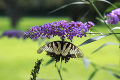 Free Yellow Swallow Tail Butterfly Nectaring A Lavendar Flower Royalty Free Stock Photo - 99115835