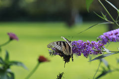 Yellow Swallow tail butterfly nectaring a lavendar flower Royalty Free Stock Photos