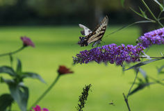Yellow Swallow tail butterfly nectaring a lavendar flower Royalty Free Stock Image