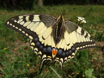 Yellow swallowtail butterfly Royalty Free Stock Photos