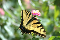 Yellow Swallowtail Butterfly. A macro shot of a yellow swallowtail butterfly Royalty Free Stock Photography