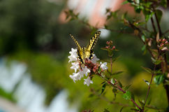 Yellow swallowtail butterfly Stock Photos