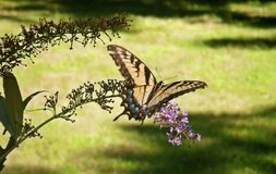 Yellow Swallowtail Butterfly. On Buddleia Davidi Royalty Free Stock Image