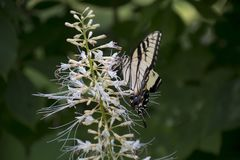 Yellow swallowtail on butterfly bush. A yellow swallowtail butterfly feeding on the flowers of a butterfly bush stock images