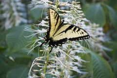 Yellow swallowtail on butterfly bush. A yellow swallowtail butterfly feeding on the flowers of a butterfly bush stock photos