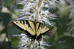 Yellow swallowtail on butterfly bush. A yellow swallowtail butterfly feeding on the flowers of a butterfly bush stock image