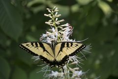 Yellow swallowtail on butterfly bush. A yellow swallowtail butterfly feeding on the flowers of a butterfly bush stock photography