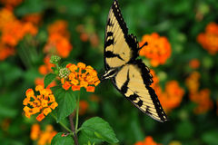Yellow Swallowtail Butterfly feeding on Lantana Royalty Free Stock Images