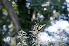 Yellow swallowtail butterfly feeding. A yellow swallowtail butterfly feeding on the flowers of a butterfly bush royalty free stock images