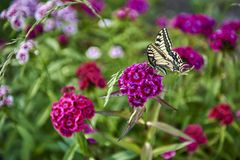Yellow swallowtail butterfly butterfly on a flower in the garden. Yellow swallowtail butterfly with black spots sitting on a flower and drinking nectar from a stock image