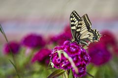 Yellow swallowtail butterfly butterfly on a flower in the garden. Yellow swallowtail butterfly with black spots sitting on a flower and drinking nectar from a stock photos